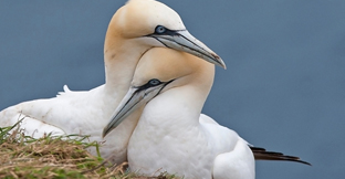 Two gannets on the beach
