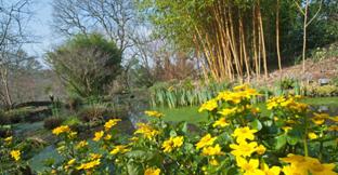 Daffodils at RHS Garden in Rosemoor, Devon